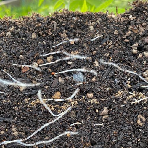 Roots-Mattole-valley-sun-grown